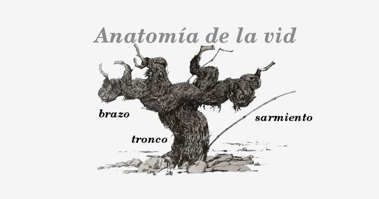 Anatomía de la Vid - vinopack