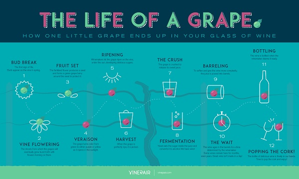 info-the-life-of-a-grape