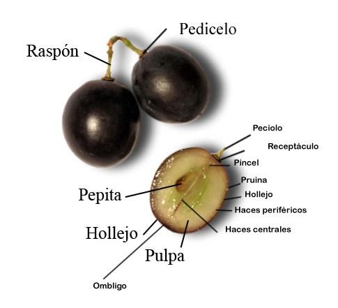 diseccion-uva
